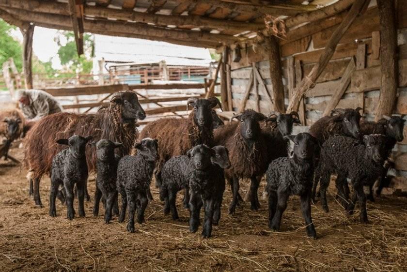 Карачаевская порода овец: описание и характеристики - домашние наши друзья