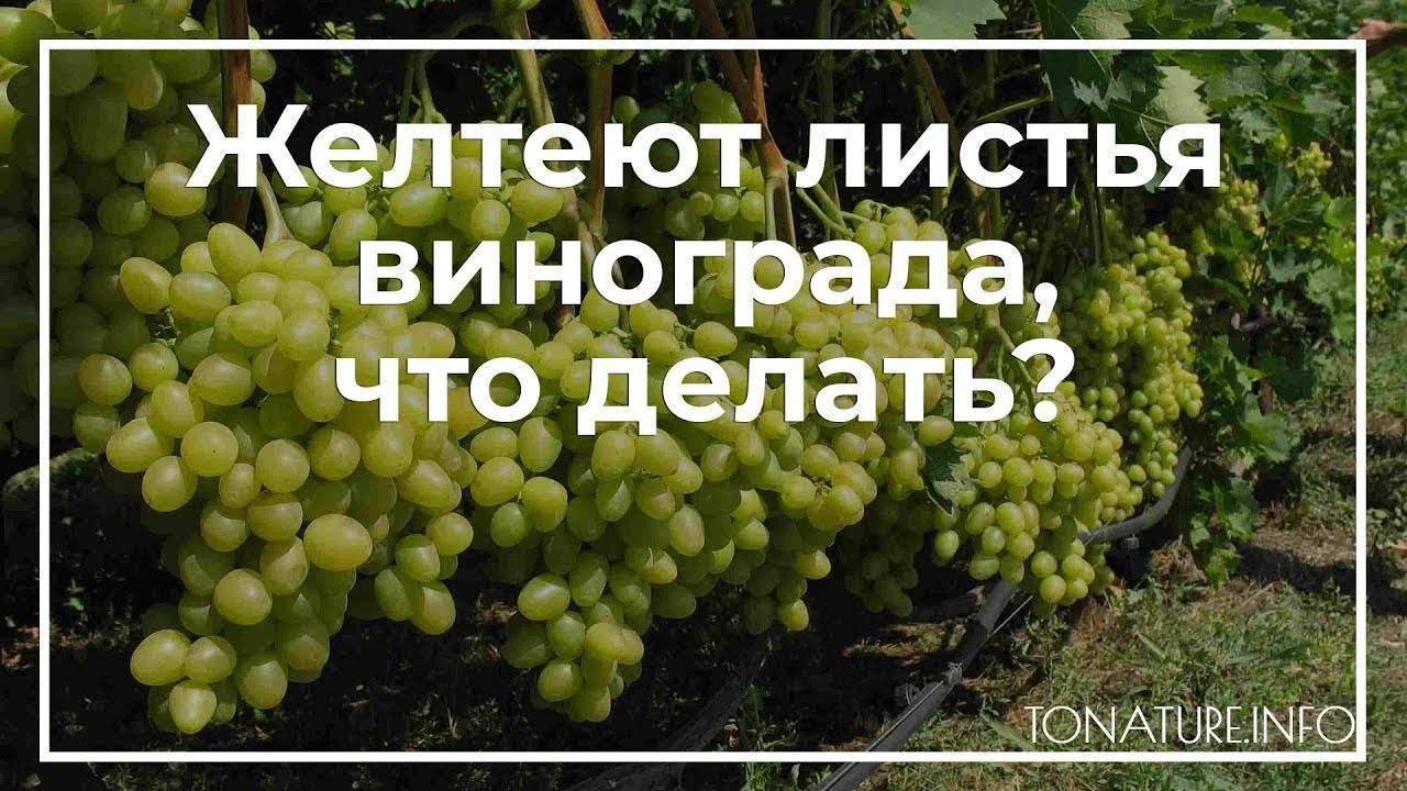 Почему желтеют листья у винограда – дачные дела