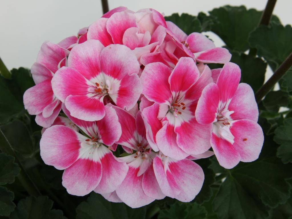 Пеларгония: 115 фото цветка и видео инструкция по выращиванию для новичков