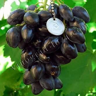 Виноград ромбик – дачные дела