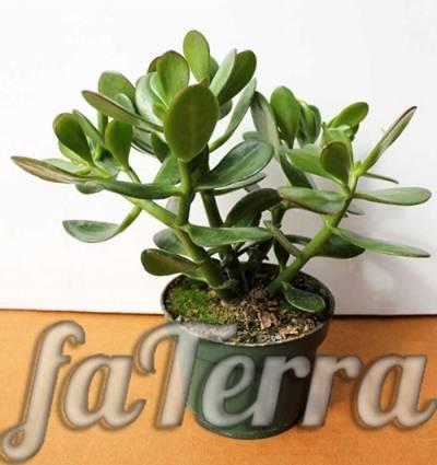 Денежное дерево толстянка – описание растения, как правильно посадить и проводить дальнейший уход
