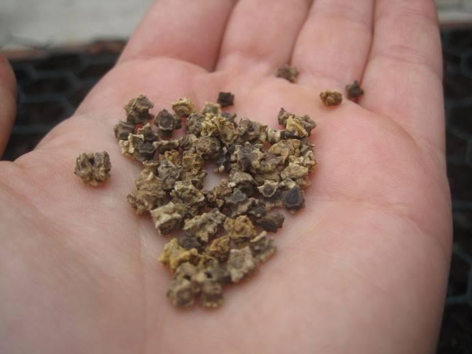 Как сажать свеклу – семенами в грунт и рассадой + видео