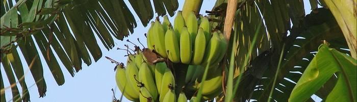 Как вырастить банан в домашних условиях: как посадить, какой потребуется уход и особенности содержания банана в домашних условиях
