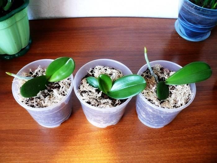 Размножение орхидеи детками в домашних условиях: как правильно пересаживать и ухаживать, фото и видео от цветоводов любителей