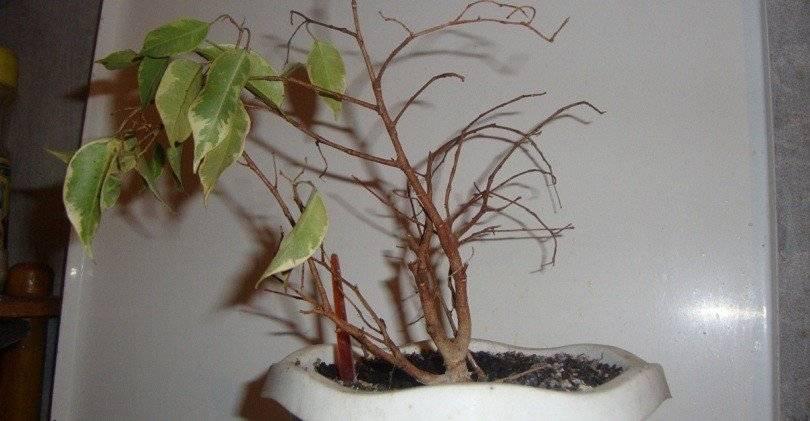 Что делать, когда фикус бенджамина сбрасывает листья
