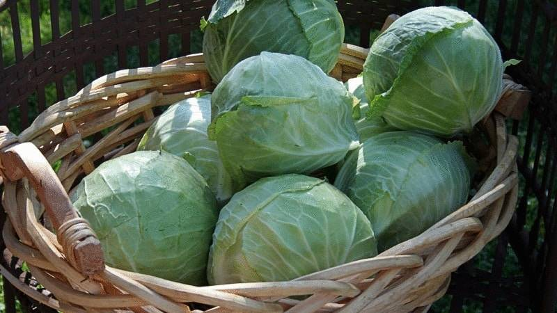 Характеристика капусты сорта Белоснежка