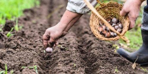 Посадка чеснока весной на головку: сроки, можно ли это делать