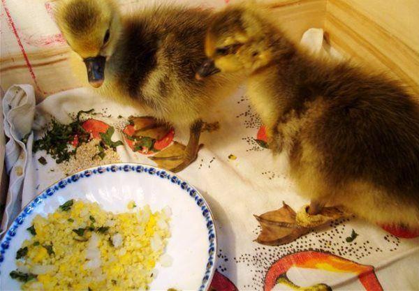 Чем кормить маленьких гусят в первые дни жизни и суточных в домашних условиях, видео