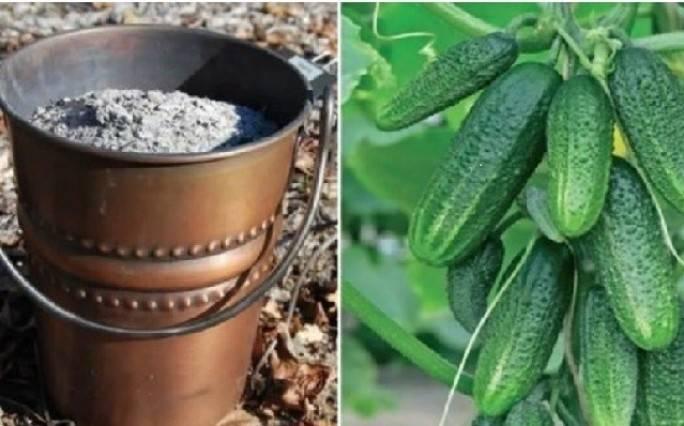 Подкормка огурцов в июле – равнение на калий против горьких и уродливых плодов — agroxxi