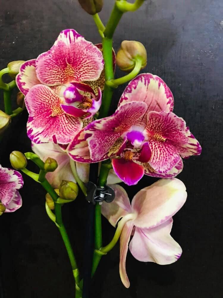 Полосатая орхидея равелло. фото цветения фаленопсиса  и особенности выращивания
