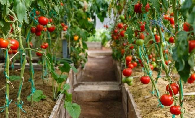 Как пасынковать помидоры и зачем это нужно делать