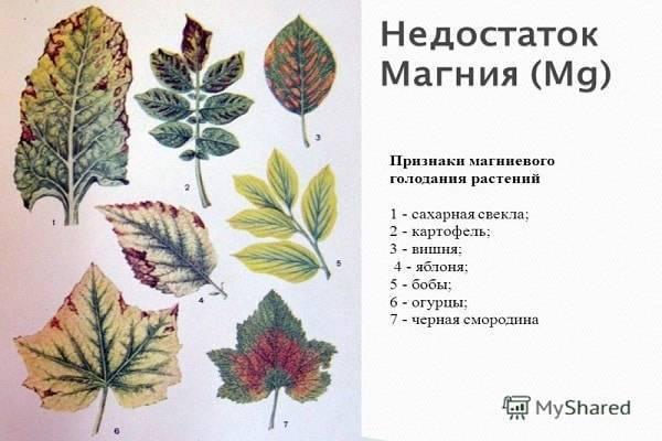 Мраморные листья у огурцов: причины и что делать