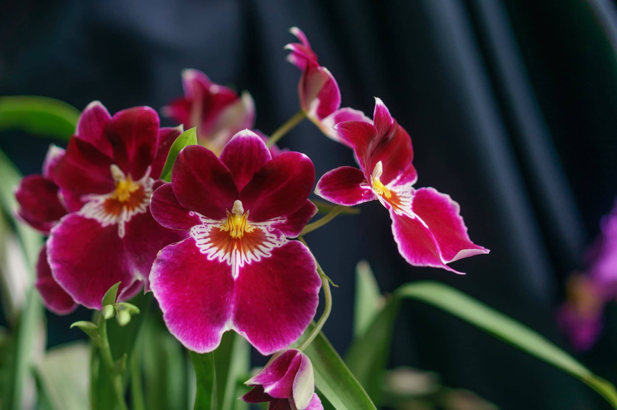 Орхидея мильтония: уход в домашних условиях. выращивание, полив, размножение и болезни. советы для начинающих цветоводов.