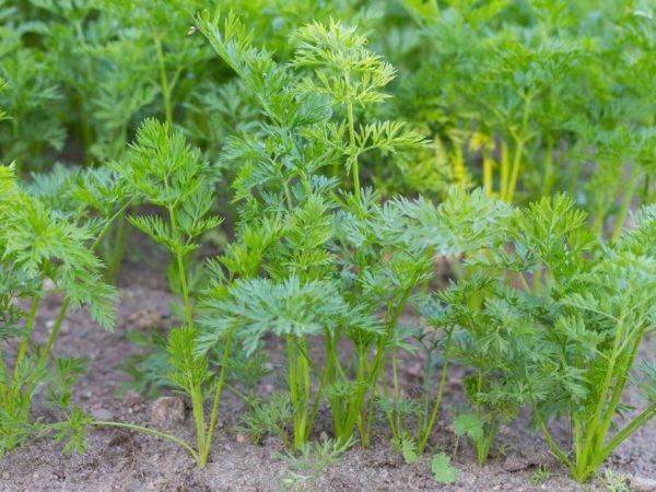 Как быстро прополоть морковь: обработка керосином от сорняков, можно ли