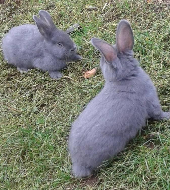 Венский голубой кролик: характеристика, содержание и уход
