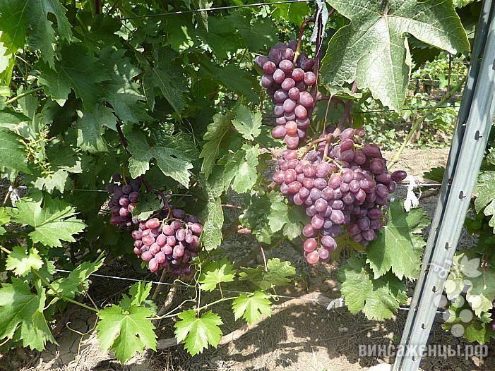 Виноград подарок запорожью: характеристика сорта и рекомендации по выращиванию