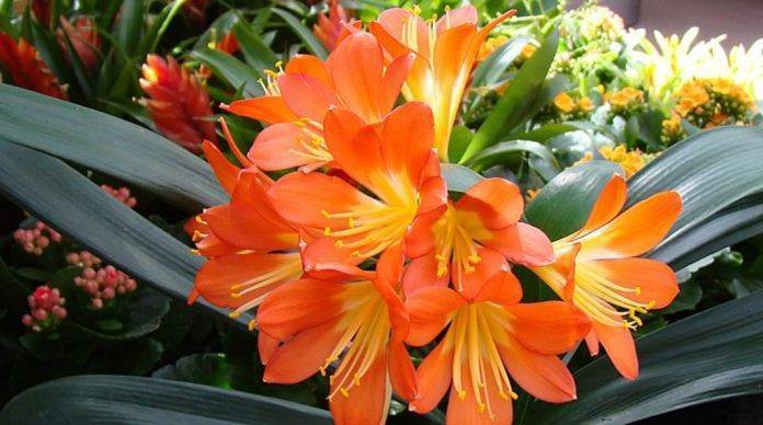 Цветок кливия: уход в домашних условиях, фото и кливии, почему кливия не цветет, размножение и пересадка кливии