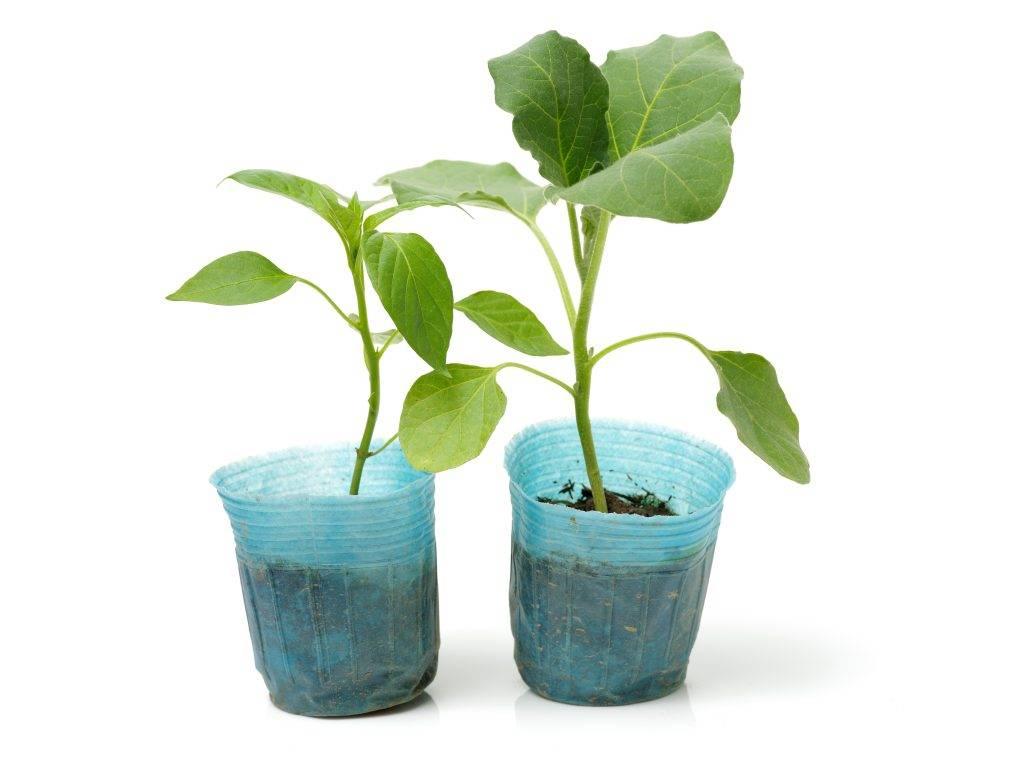 Секреты здоровья рассады баклажанов. что делать, если листья скручиваются и деформируются?