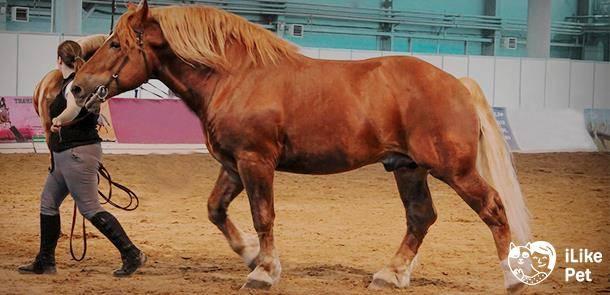 Порода лошади советский тяжеловоз: фото и видео, описание, история и характеристика