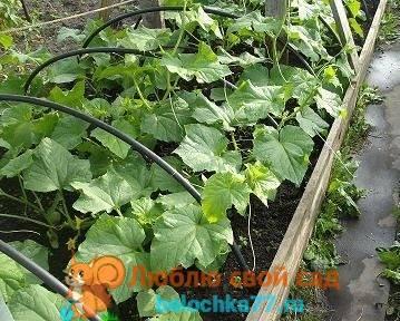 Сорта огурцов для посадки на урале в открытый грунт и теплицу