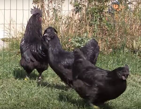 Ухейилюй порода кур: описание и особенности содержания