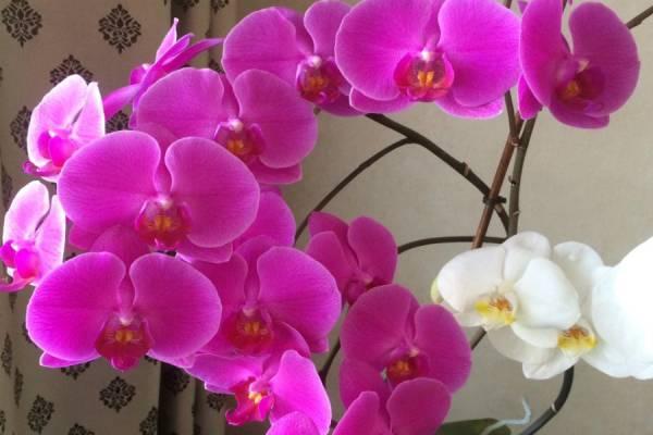 Капризная красота: почему вянет орхидея и сбрасывает цветы?