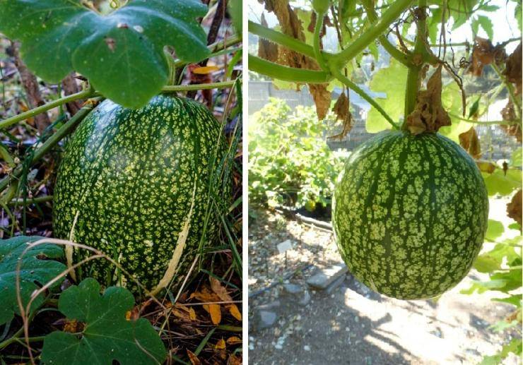 Фицефалия: выращивание и уход