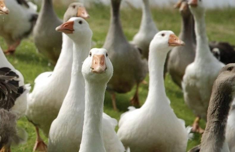 О лечении поноса у гусят: что делать, если птица поносит и дохнет
