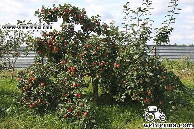 Описание иммунного сорта яблони веньяминовское - постройки