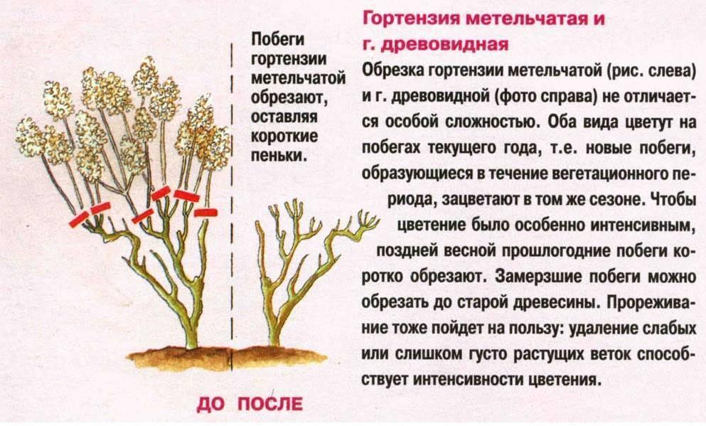 Подготовка гортензии к зиме: как сохранить гортензию в саду? как зимует цветок в открытом грунте? как утеплить? нужно ли подрезать и выкапывать гортензию?