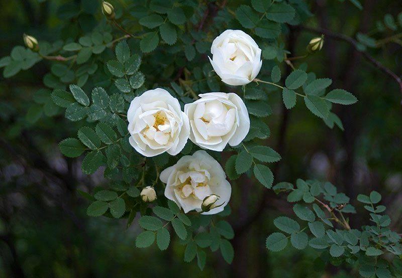 Как правильно обрезать розы на зиму и когда, как ухаживать осенью