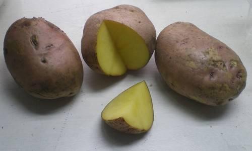 Картофель свитанок киевский - ogorodguru