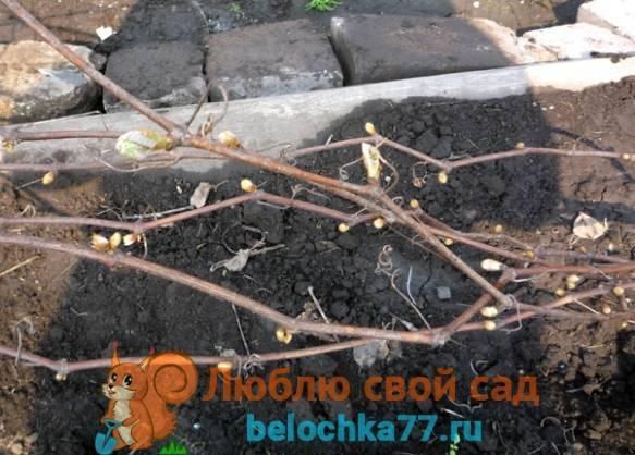 Когда снимать укрытие с винограда после зимы весной