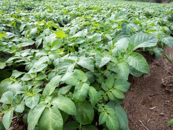Картофель не цветет: причины, будет ли урожай