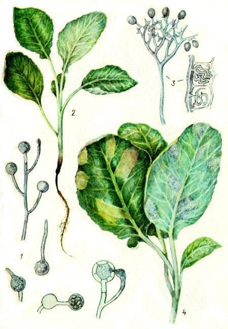 Болезнь черная ножка: фото, описание, как бороться с болезнью картофеля и других растений