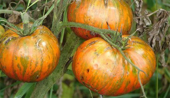 Томат шоколадный: урожайность сорта и правила выращивания
