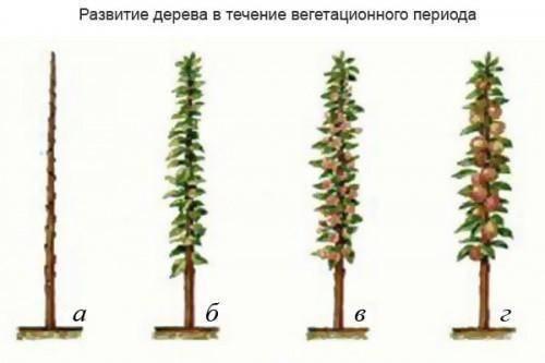 Правила обрезки колоновидных яблонь