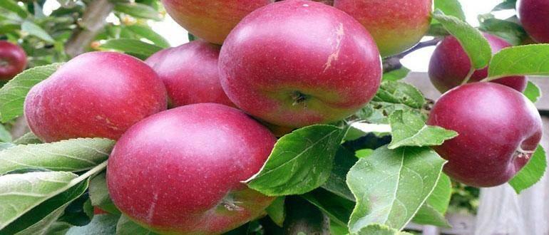 Лучшие сорта белорусских яблонь