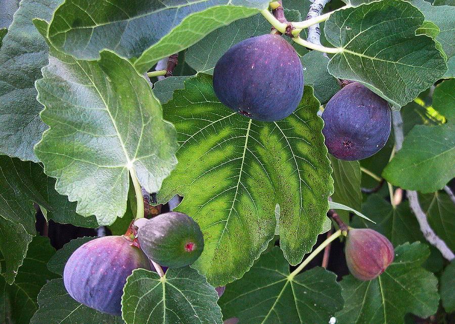 Инжир - выращивание в домашних условиях комнатного плодоносящего растения