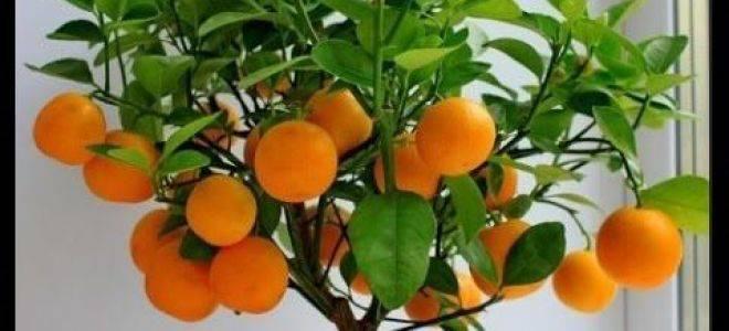 Хурма. выращивание из косточки. фото и описание