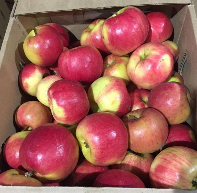 Яблоня жигулевское — отличный сорт для заготовки яблок на зиму