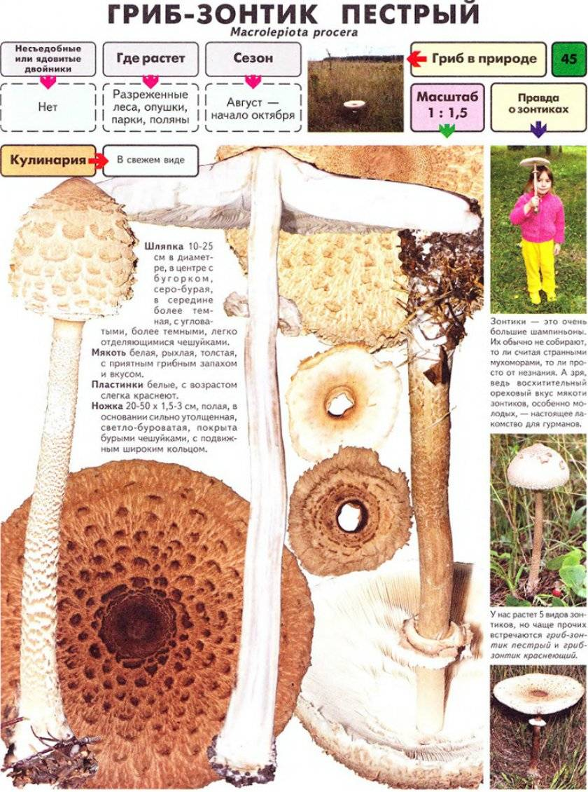 Гриб курятник (зонтик краснеющий): описание, фото