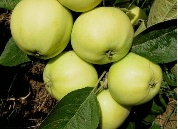 Яблоня папировка – 8 особенностей и 10 советов по посадке и уходу