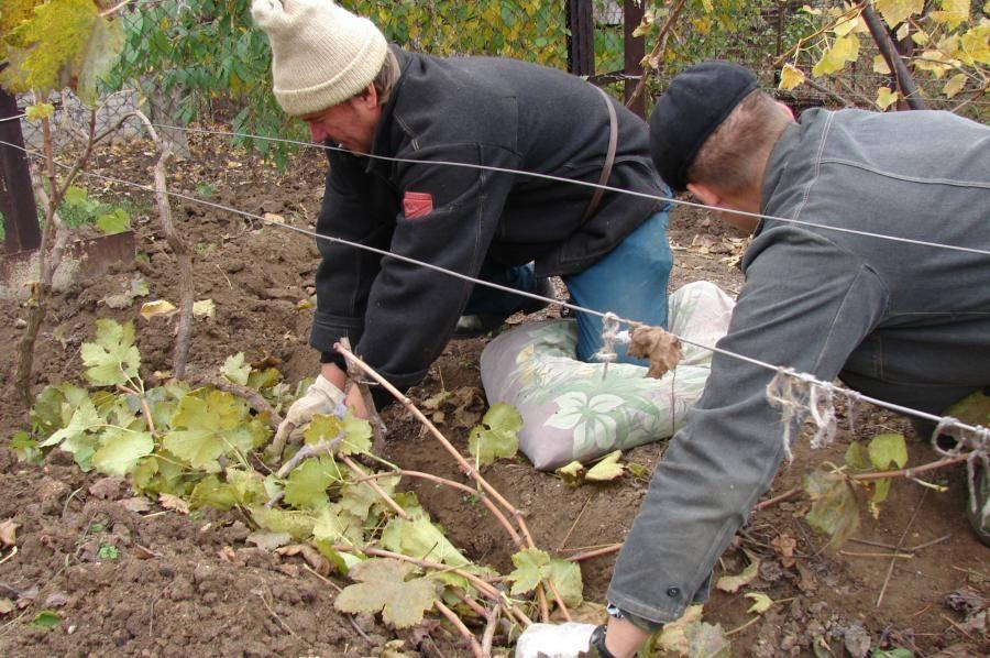 Как укрывать виноград на зиму в средней полосе россии: чем укрывать и как (видео, фото)