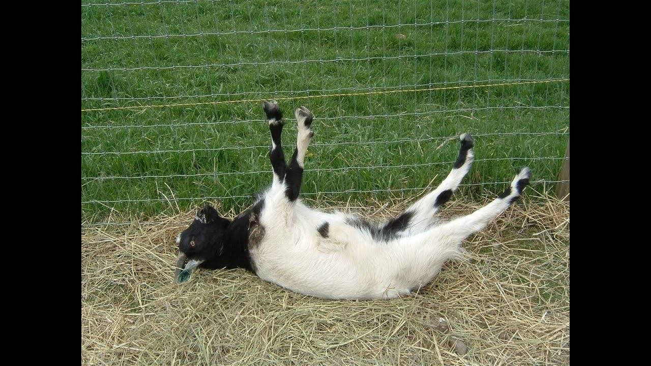 Характеристика обморочных коз