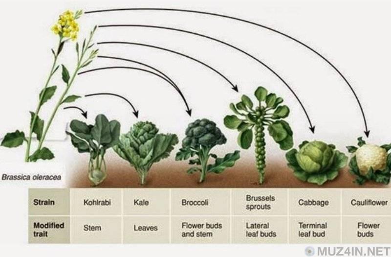 Капуста листовая: кейл, редбор, рефлекс и другие сорта, посадка и выращивание, отзывы