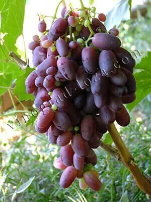 Описание винограда «ризамат»: внешний вид, особенности сорта, применение