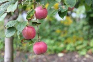 Яблоня слава победителям: описание сорта, характеристика, особенности посадки и ухода, отзывы