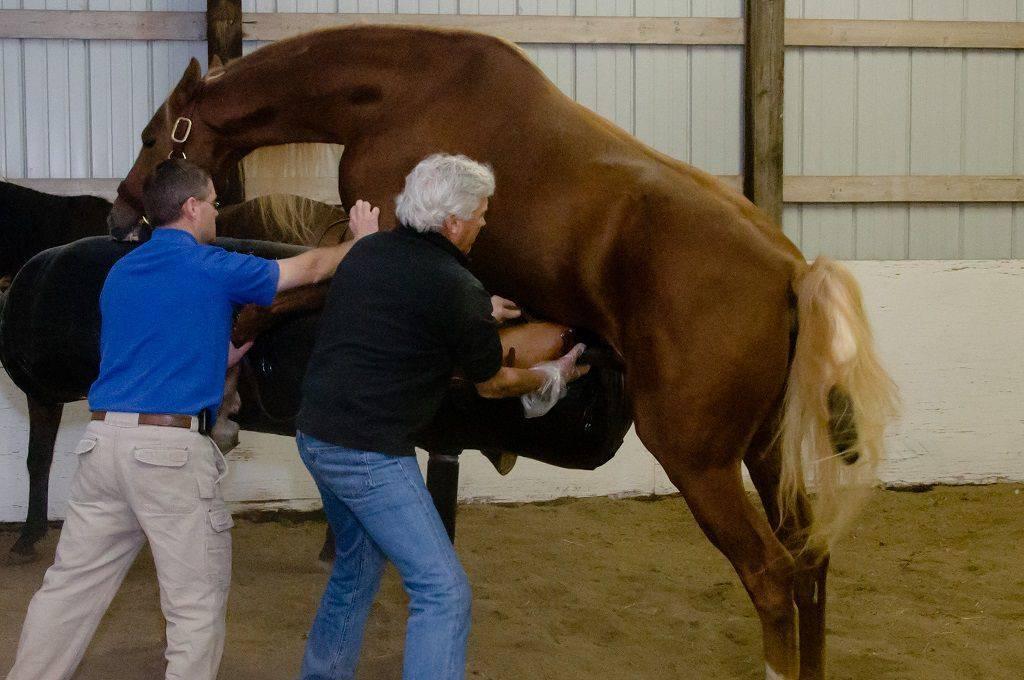 Как проходит спаривание лошадей, выбор и подготовка коней к вязке — рассматриваем досконально