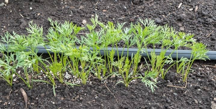 Пошаговая инструкция применения удобрений для развития урожая – чем подкормить морковь? полезные советы